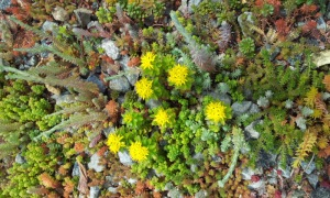 Yellow flowers of a sedum plant on the green roof.