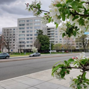 PPAC and spring blossoms from Virginia Avenue.